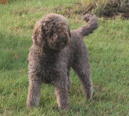 Lagotto truffle dog Ducchess at Duckett Truffieres
