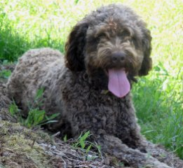 Duchess Lagotto Romagnolo truffle hunting dog