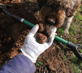 Lagotto romagnolotruffle hunting dog Duchess gets the scent